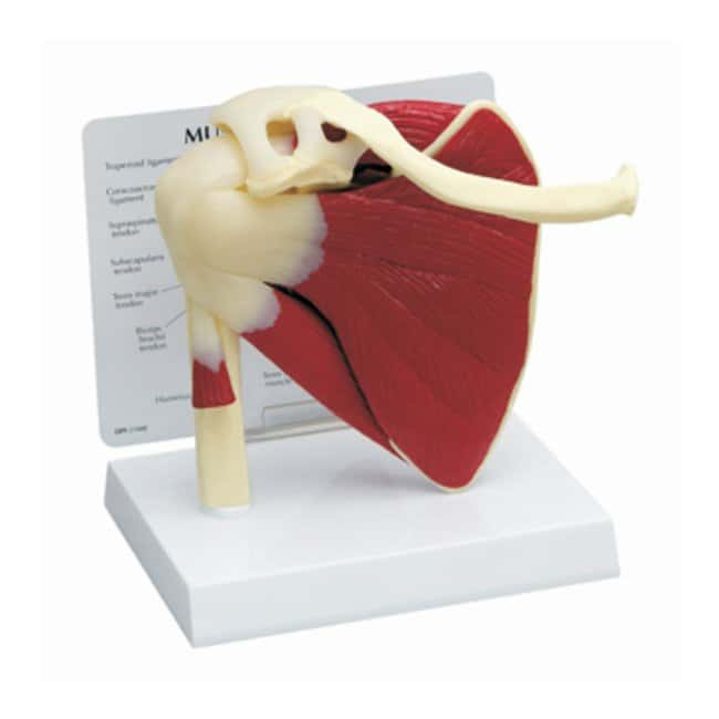 Muscled or Basic Joint Models :Teaching Supplies:Biology Classroom