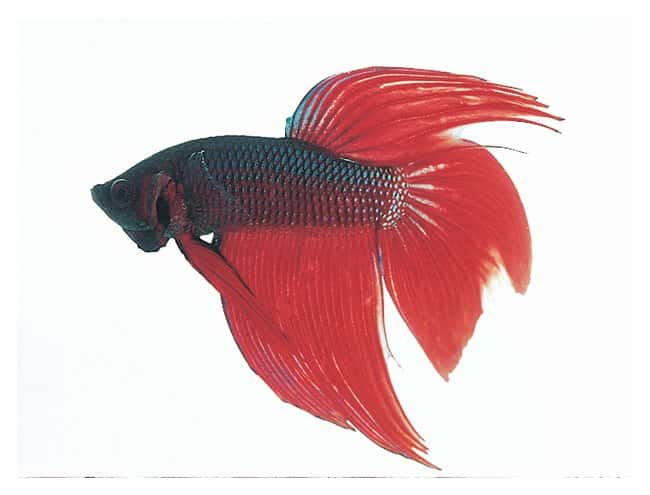 Carolina&trade; Male <i>Betta Splendens</i>&nbsp;<img src=