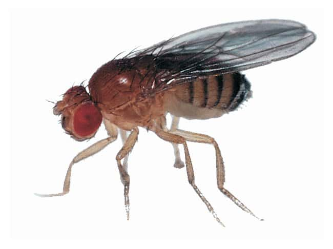 Carolina&trade; Wild-Type <i>Drosophila</i>&nbsp;<img src=