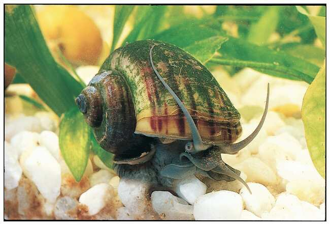 Carolina Mystery Snail Set  Mystery Snail Set:Teaching Supplies