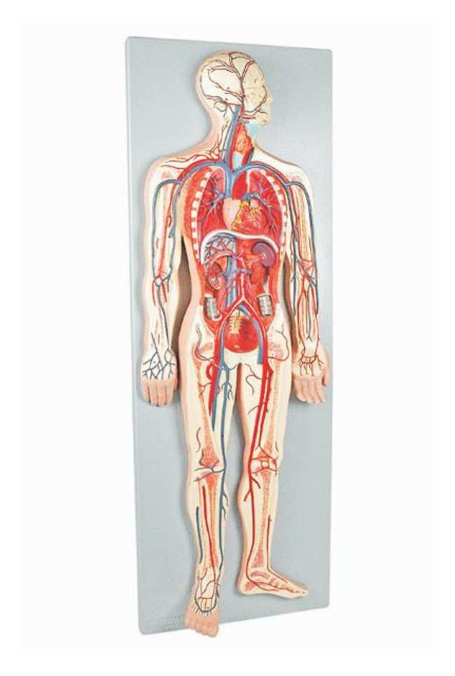 Altay Scientific Anatomy Model Human Circulatory System Human