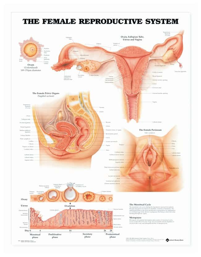 Anatomical Chart Series The Female Reproductive System Charts