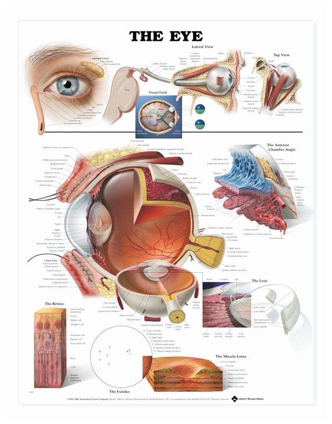 Anatomical Chart Series - The Eye Laminated Poster The Eye Laminated ...