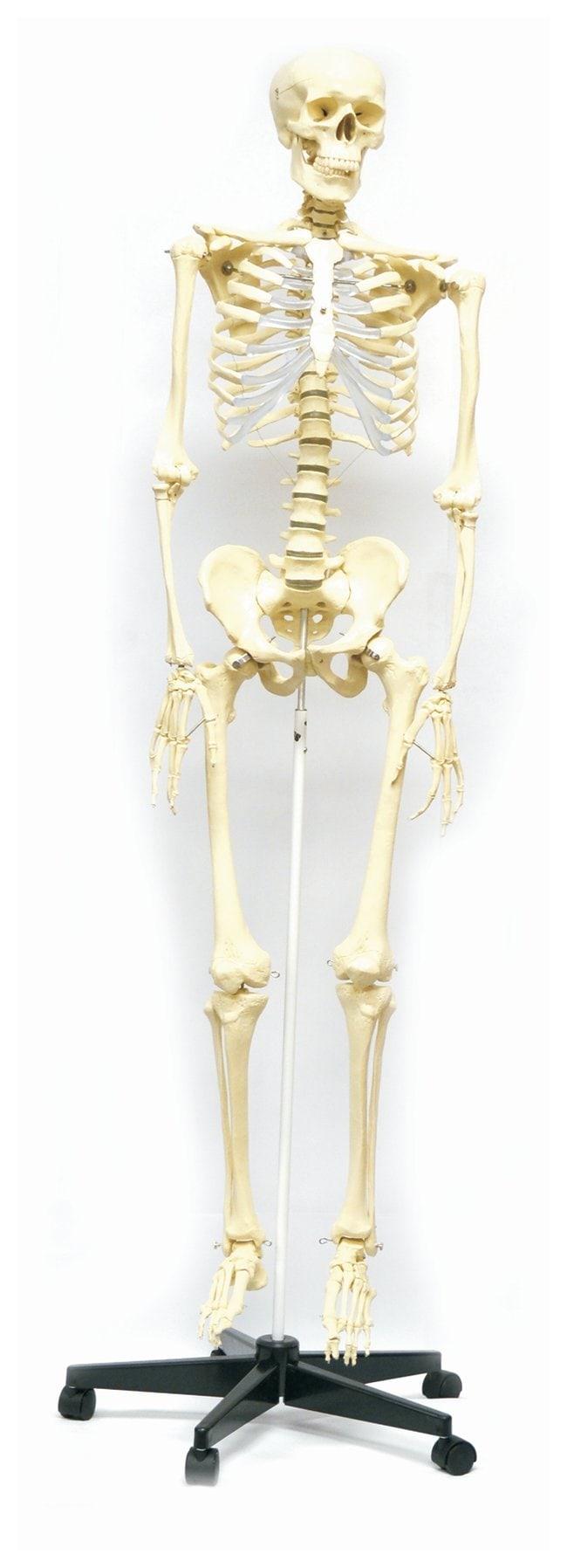 EISCO&nbsp;Human Skeleton Model, Rod Mount&nbsp;<img src=