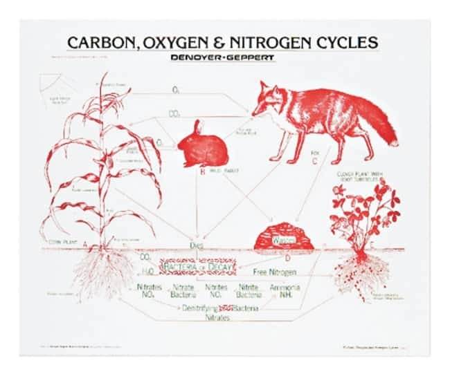 Carbon, Oxygen, and Nitrogen Cycles Chart  Carbon, Oxygen and Nitrogen