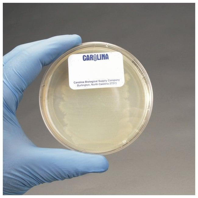 Carolina Bacillus cereus, Living - Teaching Supplies, Biology Classroom