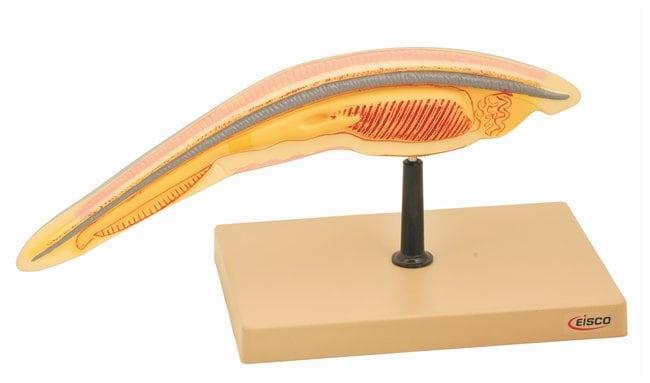 Eisco&nbsp;Model Amphioxus&nbsp;<img src=