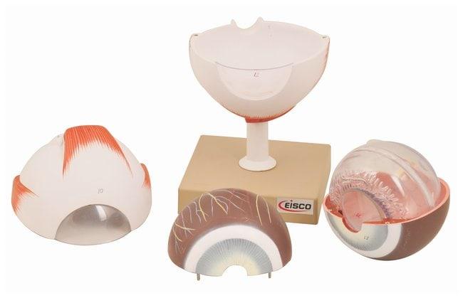 Eisco Human Eye, 5X Enlarged, 6 part, Dissectable  Human Eye:Teaching Supplies