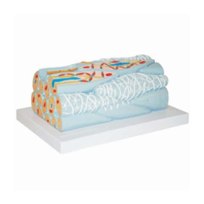Walter Products Smooth Muscle Fiber Model  Smooth muscle fiber model:Teaching