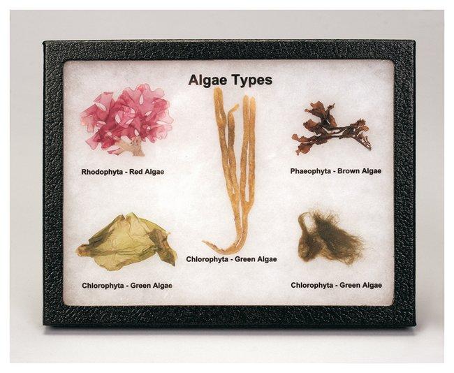 Carolina Labelled Algae Collection  Algae Collection Biorama:Teaching Supplies