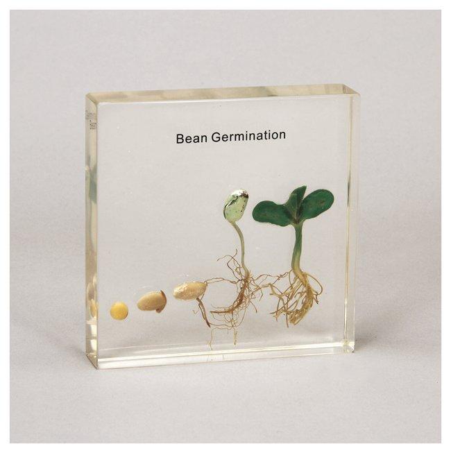 Carolina Bean Germination Plastomount  Bean Germination Plastomount:Teaching