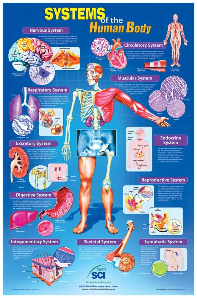 Systems Of The Human Body Poster