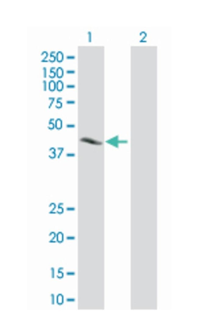 cAMP responsive element binding protein 1, Mouse, Polyclonal Antibody,