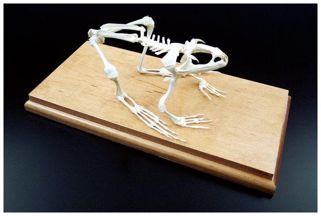Animal Skeletons  Bullfrog skeleton:Teaching Supplies