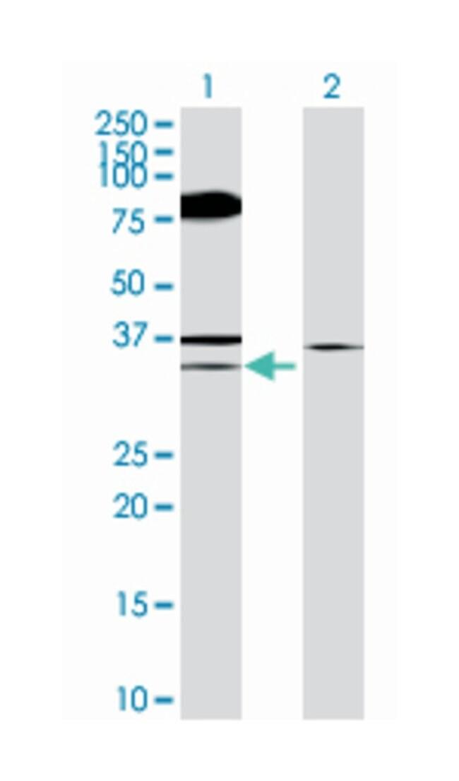 eukaryotic translation initiation factor 4E binding protein 2, Mouse, Polyclonal