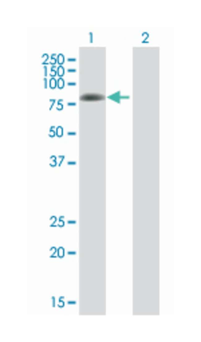 protein kinase C, delta, Mouse, Polyclonal Antibody, Abnova 50µL;