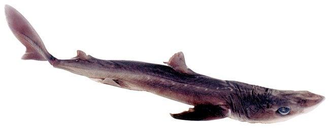 Dogfish Sharks<img src=