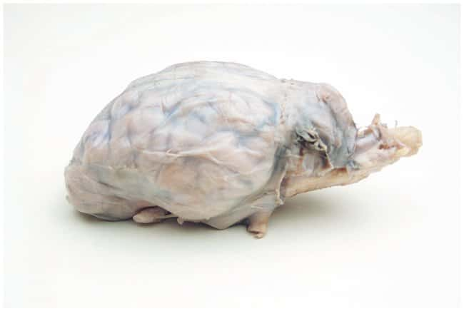 Fisher Science Education Preserved Specimens: Sheep Brain, Fully Extracted