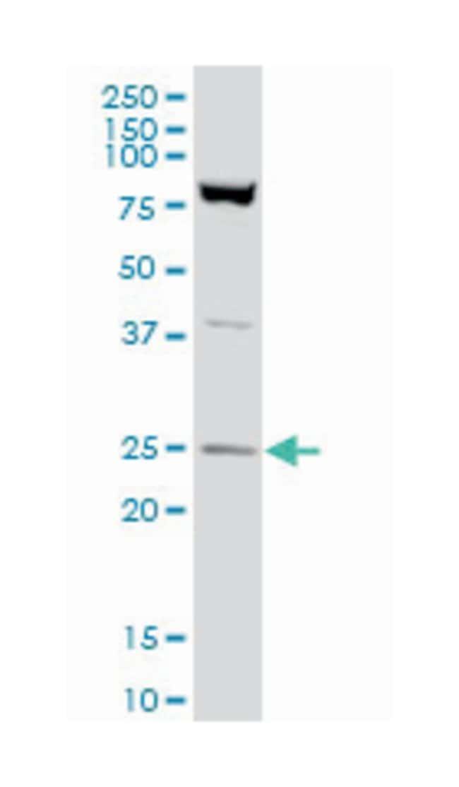 RAN, member RAS oncogene family, Mouse, Polyclonal Antibody, Abnova 50µL;
