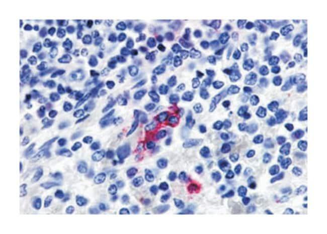 P2RY13 Rabbit anti-Human, Polyclonal Antibody, Abnova 50µg; Unlabeled:Life