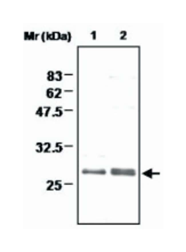 MSRA, Rabbit, Polyclonal Antibody, Abnova 100µL; Unlabeled:Life Sciences