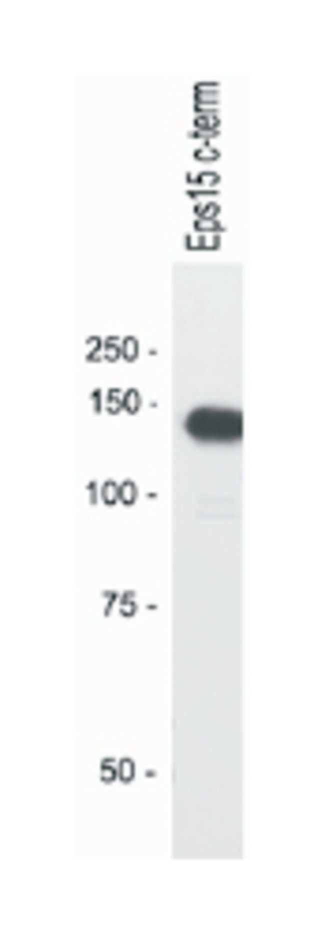 EPS15 Rabbit anti-Human, Mouse, Rat, Polyclonal Antibody, Abnova 100µL;