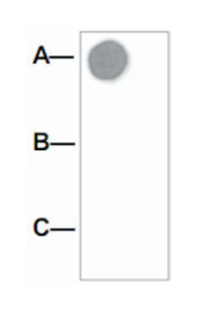 AKT1 (phospho S473), Rabbit anti-Human, Mouse, Rat, Polyclonal Antibody,