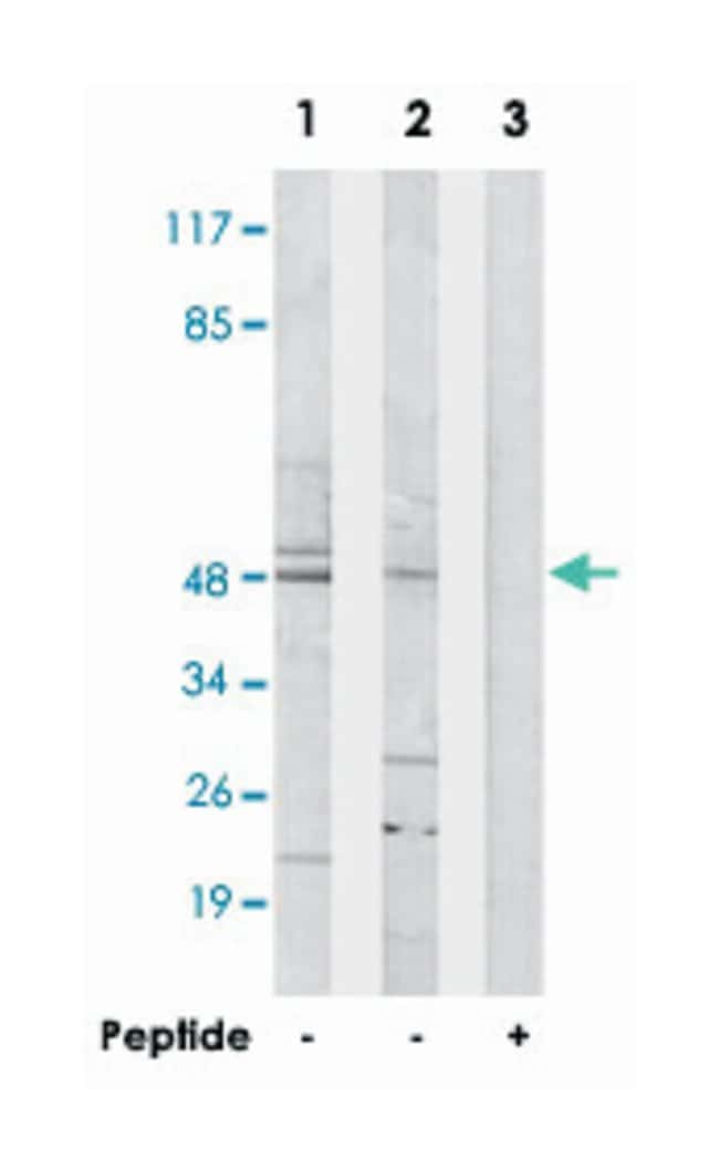 CSTF1, Rabbit, Polyclonal Antibody, Abnova 100µg; Unlabeled:Life Sciences