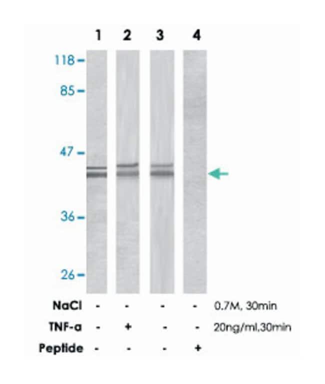 MAPK1/MAPK3 Rabbit anti-Human, Mouse, Rat, Polyclonal Antibody, Abnova
