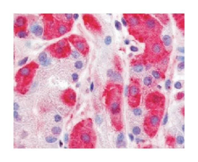 DPP7 Rabbit anti-Human, Monkey, Polyclonal Antibody, Abnova 50µg;