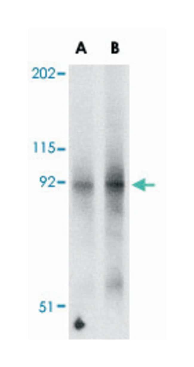 FNIP2 Rabbit anti-Human, Mouse, Rat, Polyclonal Antibody, Abnova 100µg;