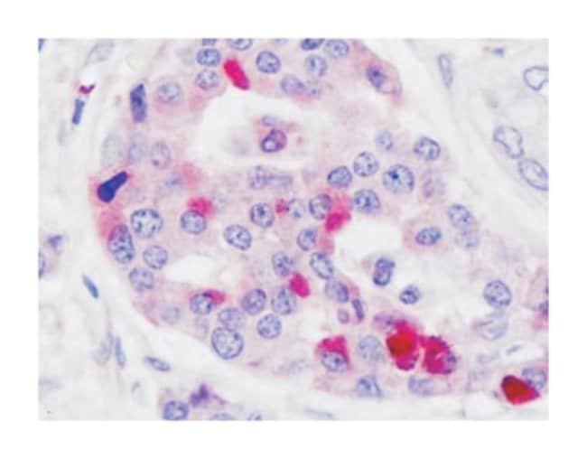 GLP1R Rabbit anti-Human, Monkey, Polyclonal Antibody, Abnova 50µg;