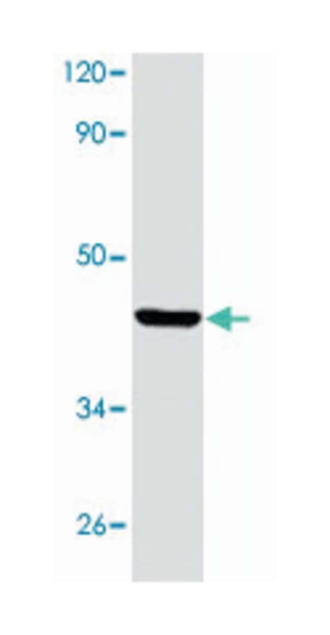 PAX5 Rabbit anti-Human, Mouse, Polyclonal Antibody, Abnova 100µL;
