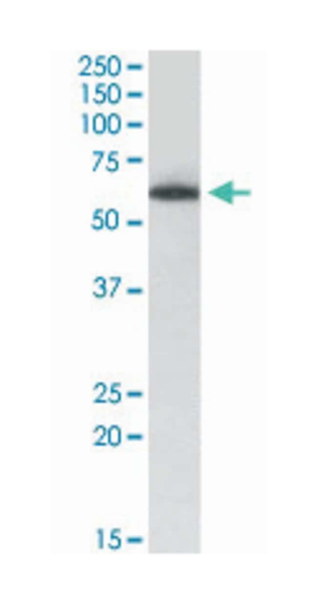 TH1L, Goat, Polyclonal Antibody, Abnova 100µg; Unlabeled:Life Sciences