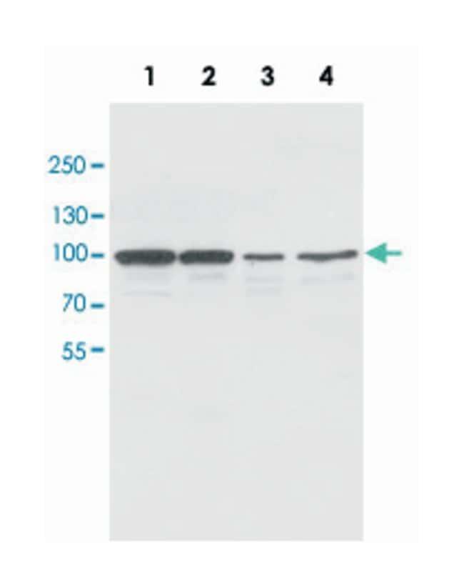 CDH2 Rabbit anti-Human, Rat, Polyclonal Antibody, Abnova 100µg; Unlabeled:Life