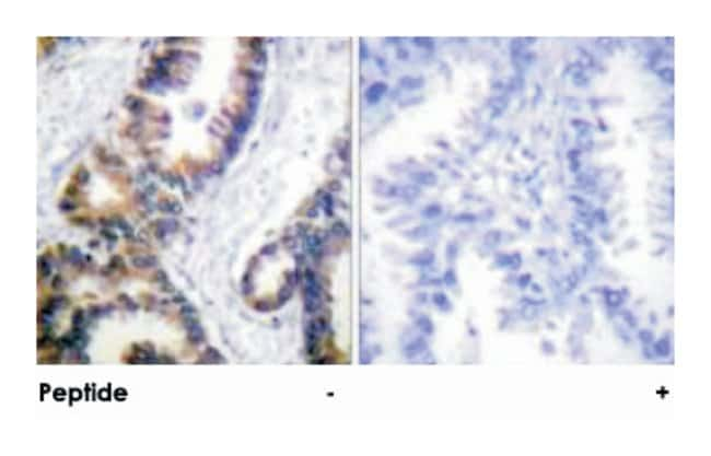 DUSP1 Rabbit anti-Human, Polyclonal Antibody, Abnova 100µg; Unlabeled:Life