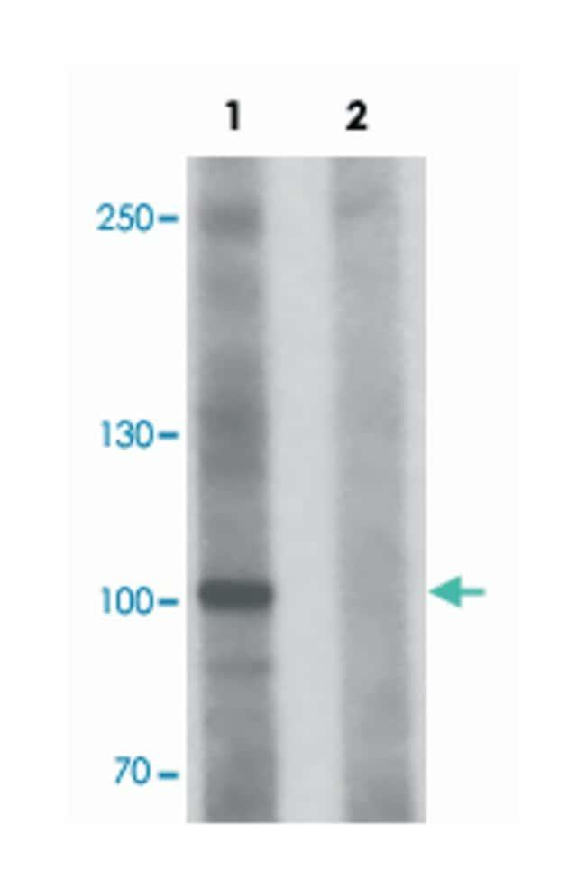 FAM193B, Rabbit, Polyclonal Antibody, Abnova 100µg; Unlabeled:Life