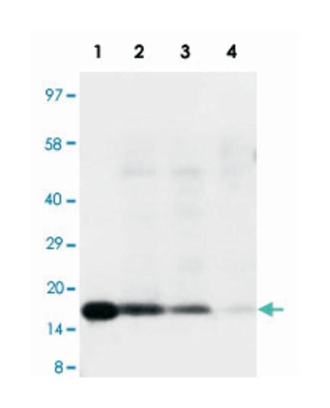 IL18 Rabbit anti-Human, Polyclonal Antibody, Abnova 100µg; Unlabeled:Life