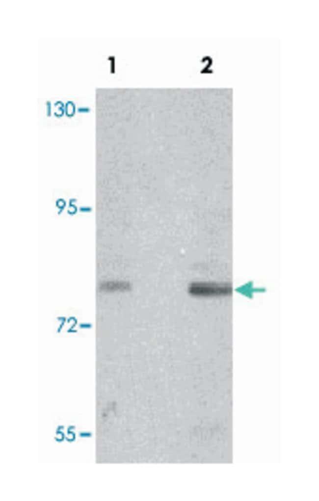 NBN Rabbit anti-Human, Mouse, Rat, Polyclonal Antibody, Abnova 100µg;