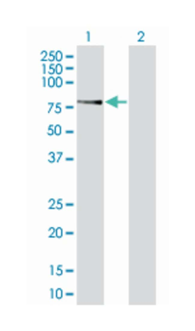 GTP binding protein 1 (B01), Mouse anti-Human, Polyclonal Antibody, Abnova