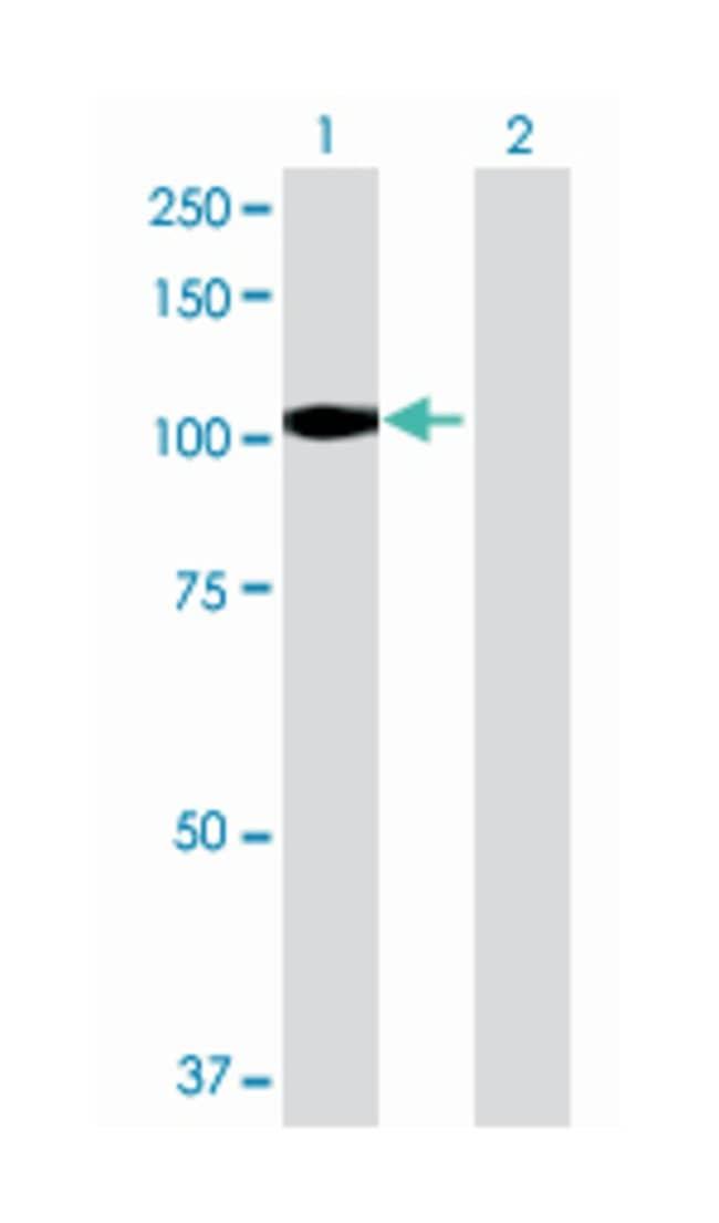 integrator complex subunit 7, Mouse, Polyclonal Antibody, Abnova 50µL;