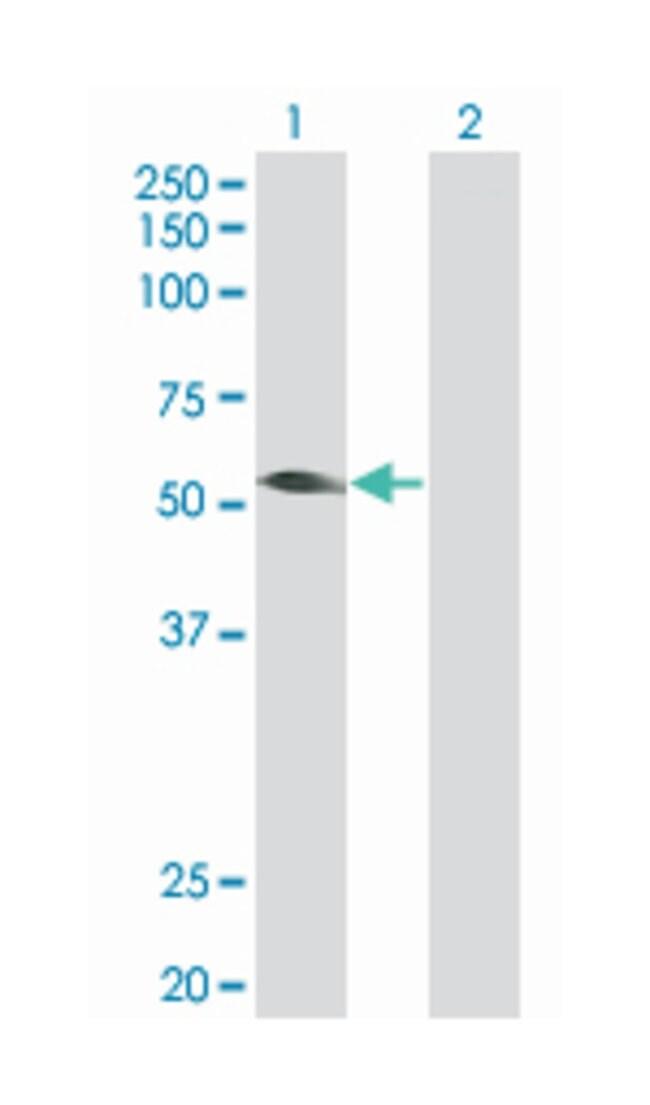 tripartite motif-containing 31 (B01), Mouse anti-Human, Polyclonal Antibody,