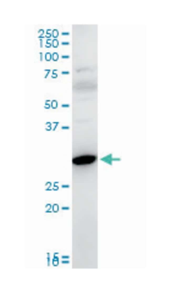 Fas apoptotic inhibitory molecule 2, Mouse, Polyclonal Antibody, Abnova