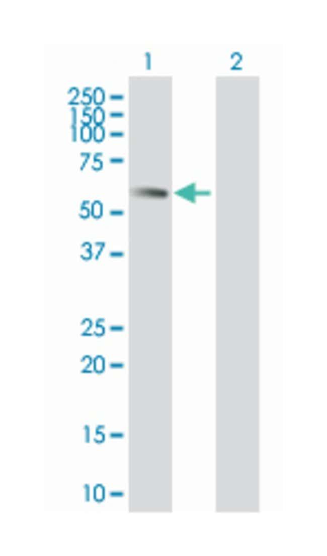 elongation factor RNA polymerase II-like 3 (B01), Mouse anti-Human, Polyclonal