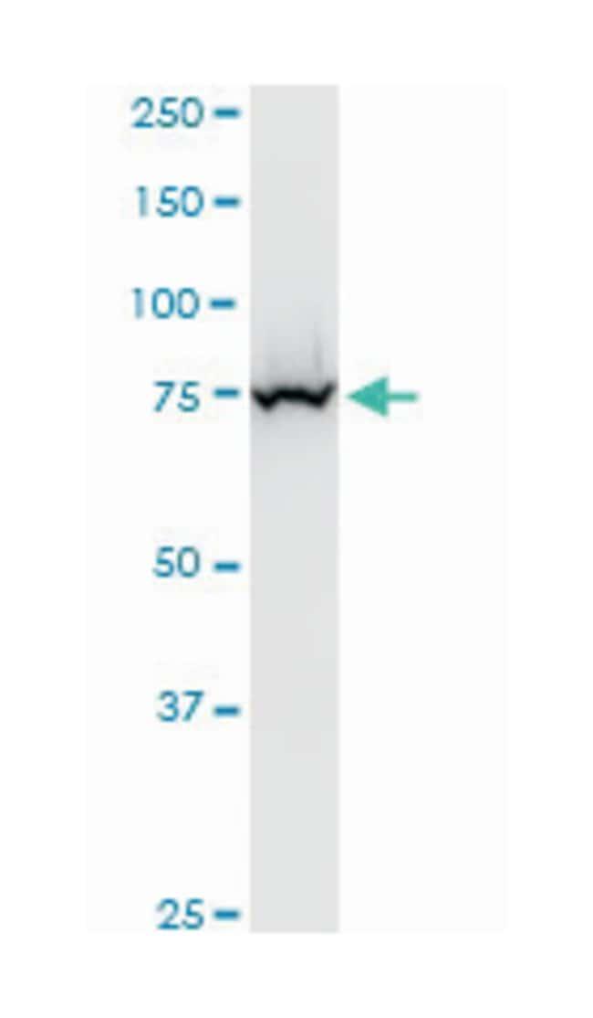 enhancer of polycomb homolog 1 (Drosophila), Mouse, Polyclonal Antibody,