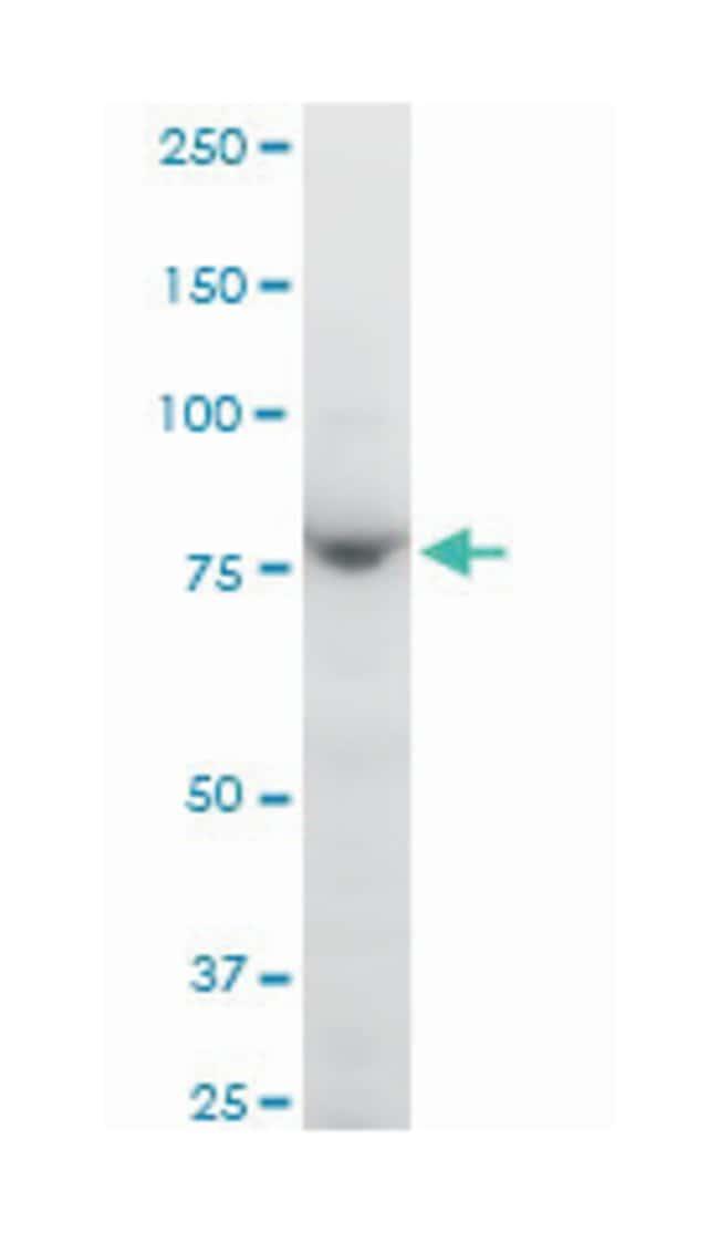 protocadherin gamma subfamily B, 1 (A01), Mouse anti-Human, Mouse, Polyclonal
