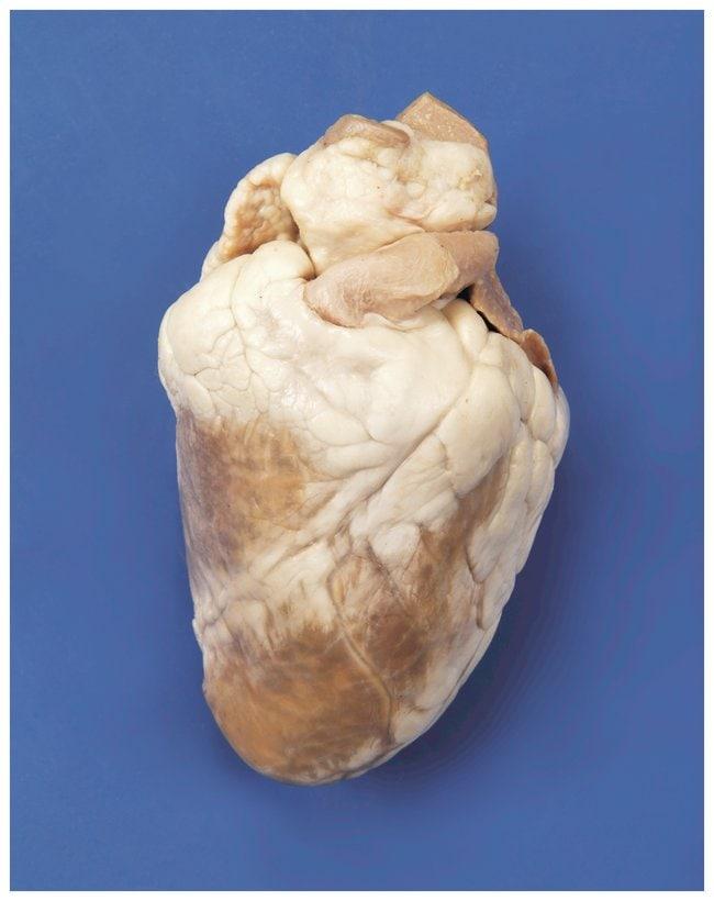 CarolinaFormalin Preserved Sheep Heart, Plain Sheep heart formalin preserved