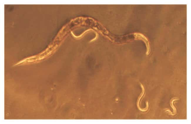 EdvotekEffects of Alcohol on C. elegans Experiment Kit Edvotek Effects