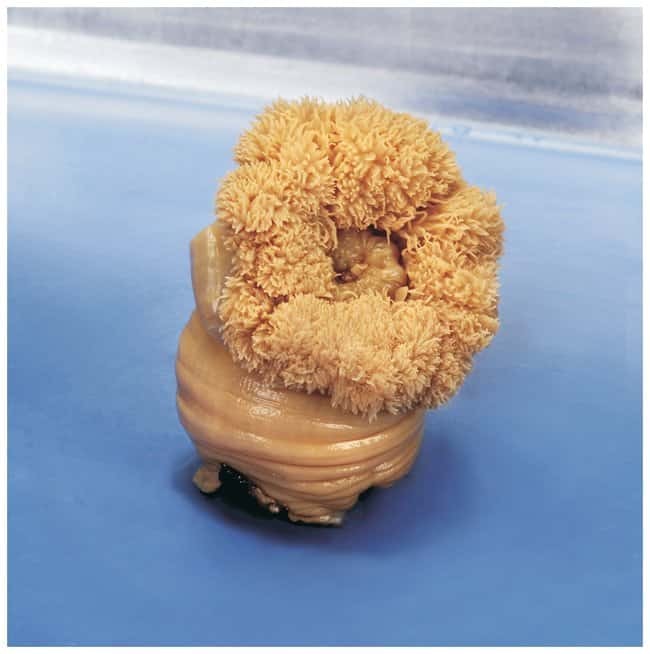 Carolina Formalin Sea Anemones :Teaching Supplies:Biology Classroom