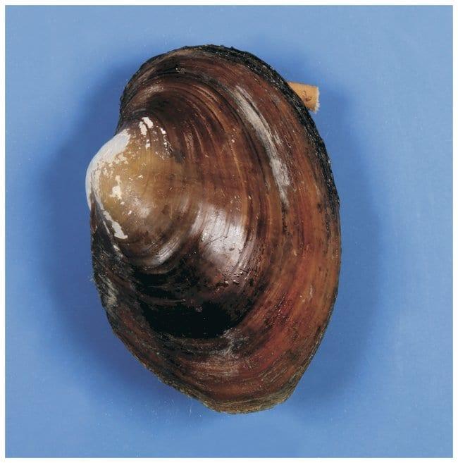 Carolina Freshwater Mussels :Teaching Supplies:Biology Classroom
